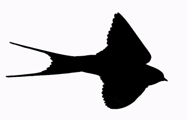 Red-rumped Swallow Hirundo daurica silhouette