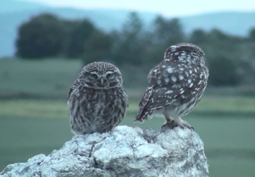Little Owls, Athene noctua.