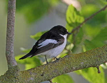 Pied Flycatcher in the Ebro Delta, Catalonia.