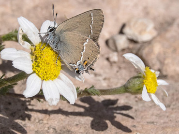 Blue-spot Hairstreak, on a birding tour in Spain