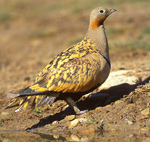 Black-bellied Sandgrouse – Pterocles orientalis