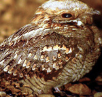Red-necked Nightjar – Caprimulgus ruficollis