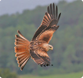 Red Kite - Aigüestortes National Park West