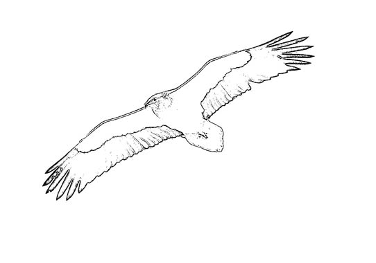 egyptian vulture drawing - photo #28