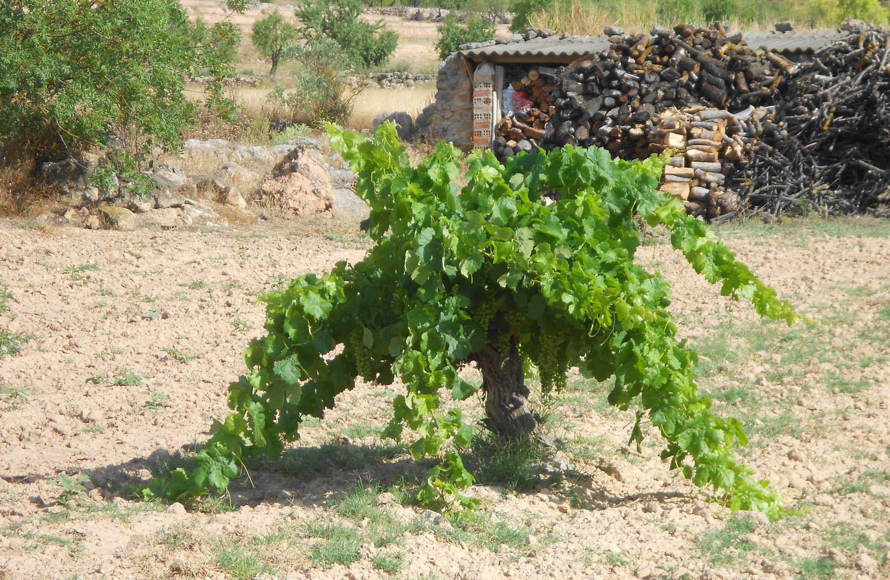 grapevine at the Pou del Mano, Bovera