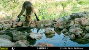 Red Fox at the Pou del Mano drinking pool