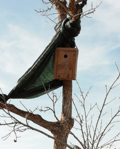 Blue Tit nest box on persimon tree