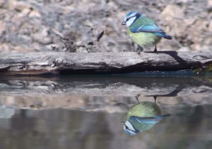 Blue Tit, Cyanistes caeruleus, at drinking pool