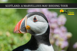Atlantic Puffin and Marvellous May Scotland Tour