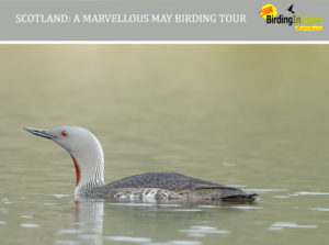Red-throated Diver and Marvellous May Scotland Tour