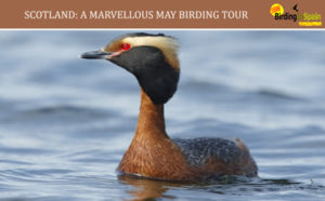 Slavonian Grebe and Marvellous May in Scotland