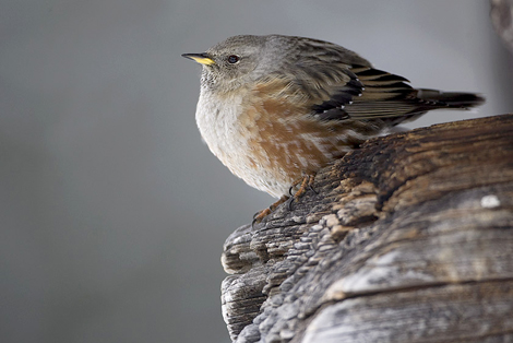 Alpine Accentor, Prunella collaris