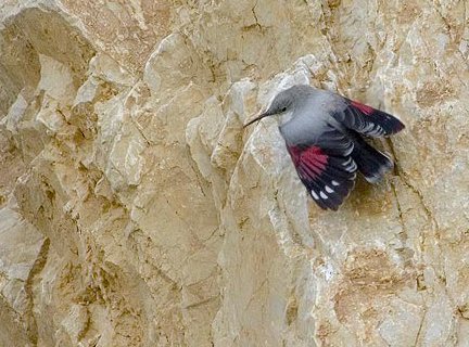 Winter Wallcreeper, Tichodroma muraria