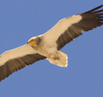 Egyptian Vulture – Neophron percnopterus