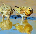 Pin-tailed Sandgrouse – Pterocles alchata