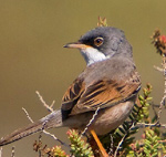 Spectacled Warbler – Sylvia conspicillata