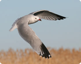 Audouin's Gull - Birding in The Ebro Delta