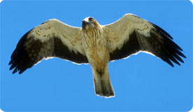 Booted Eagle - The Tramuntana Range, Mallorca