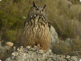 Additional Species can be found near Sant Llorenç like the Eagle Owl