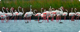 Greater Flamingo - The Ebro Delta Birding Experience