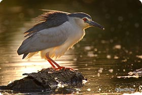 Night Heron - Vilaüt