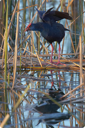 In the park habitats specialities such as Moustached Warbler, Purple Gallinule...