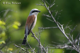 Red-Backed Shrike - Aigüestortes National Park East