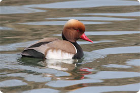 Red-crested Pochard - Birding in Mallorca