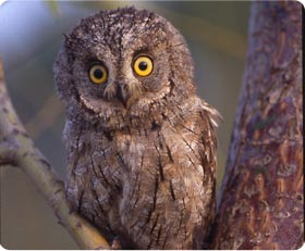 Scop's Owl - Sierra de Guara East