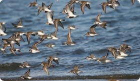 Visit the Remolar reserve and watch a wide variety of waders, ducks, gulls...